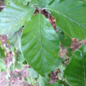 Photographie n°193842 du taxon Fagus sylvatica L.