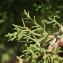 Pierre Bonnet - Juniperus phoenicea L. [1753]