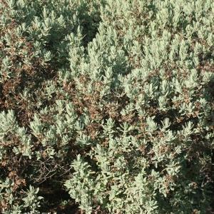 Photographie n°194139 du taxon Cistus albidus L. [1753]