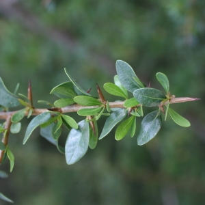 - Argania spinosa (L.) Skeels