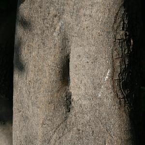 Photographie n°194238 du taxon Ceratonia siliqua L.
