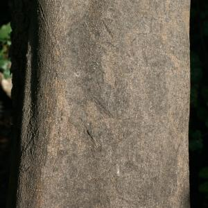 Photographie n°194239 du taxon Ceratonia siliqua L.