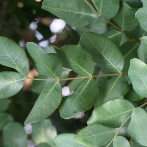 Photographie n°194243 du taxon Ceratonia siliqua L.