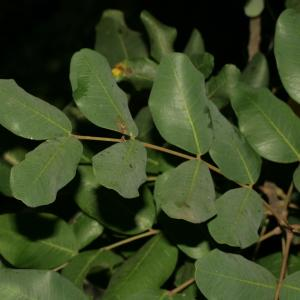 Photographie n°194248 du taxon Ceratonia siliqua L.