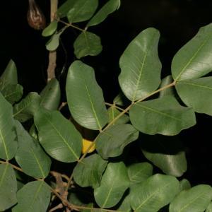 Photographie n°194249 du taxon Ceratonia siliqua L.