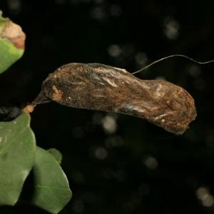 Photographie n°194254 du taxon Ceratonia siliqua L.