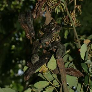 Photographie n°194255 du taxon Ceratonia siliqua L.