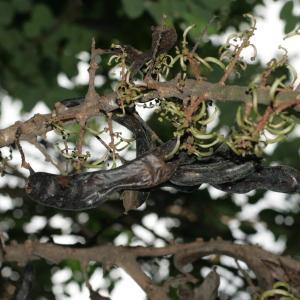 Photographie n°194256 du taxon Ceratonia siliqua L.