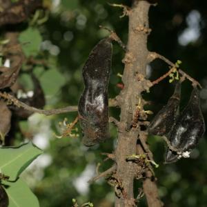 Photographie n°194260 du taxon Ceratonia siliqua L.