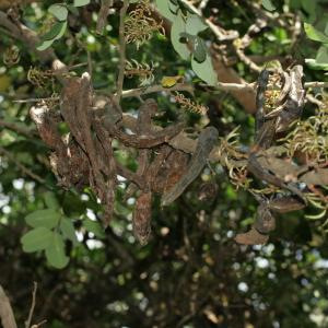 Photographie n°194263 du taxon Ceratonia siliqua L.