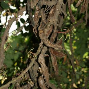 Photographie n°194265 du taxon Ceratonia siliqua L.