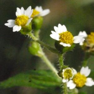 Galinsoga parviflora Cav. [1795] (Galinsoga à petites fleurs)
