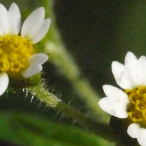 Galinsoga parviflora var. hispida DC. (Galinsoga à petites fleurs)