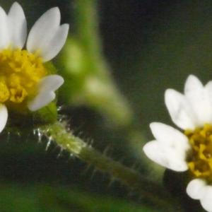 - Galinsoga parviflora Cav.