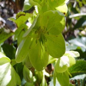 Photographie n°194532 du taxon Helleborus lividus subsp. corsicus (Briq.) P.Fourn.
