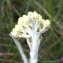 Bernard Andrieu - Helichrysum stoechas (L.) Moench [1794]