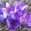 Ruddy Benezet - Crocus sativus L.