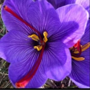Crocus sativus L. (Crocus cultivé)