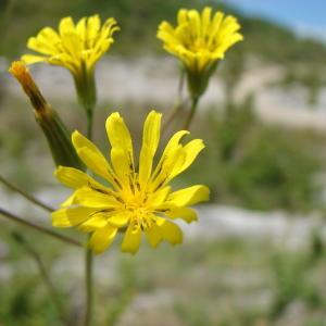 Crepis pulchra L. (Crépide élégante)