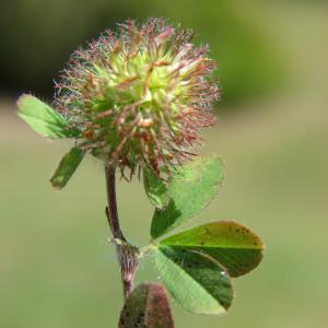 Trifolium lappaceum L. (Trèfle fausse bardane)