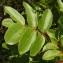 Bernard Andrieu - Pistacia terebinthus L.