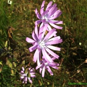 Photographie n°194814 du taxon Lactuca perennis L.
