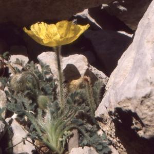 Papaver rhaeticum Leresche (Amapola de los Alpes)