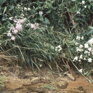 Photographie n°194894 du taxon Hesperis matronalis L. [1753]