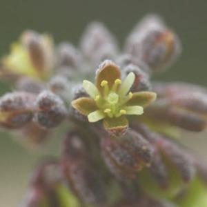 Clypeola jonthlaspi L. (Clypéole)