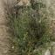 Liliane Roubaudi - Polygonum equisetifolium