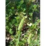 Rostraria pubescens (Lam.) Trin. (Koelérie du littoral)
