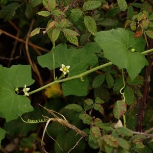 Photographie n°195375 du taxon Bryonia cretica subsp. dioica (Jacq.) Tutin [1968]