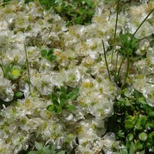 Paronychia kapela subsp. serpyllifolia (Chaix) Graebn. (Paronyque à feuilles de serpolet)