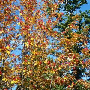 Photographie n°195438 du taxon Sorbus L.