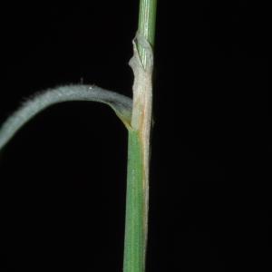 - Calamagrostis phragmitoides Hartm. [1843]