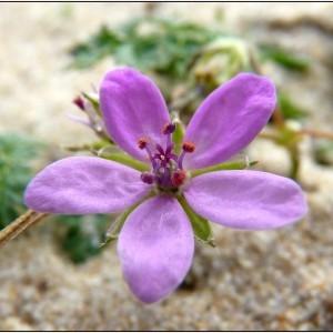 Erodium cicutarium subsp. dunense Andreas (Bec-de-grue des dunes)