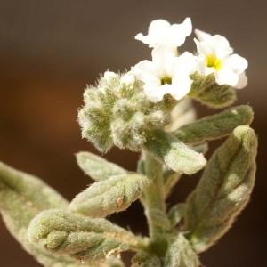 Heliotropium ramosissimum Sieber ex DC.