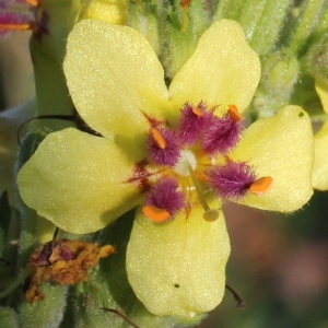 Verbascum virgatum Stokes (Molène effilée)