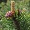 Marie  Portas - Pinus sylvestris L. [1753]