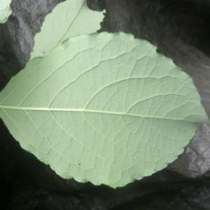 Photographie n°195708 du taxon Salix L. [1753]