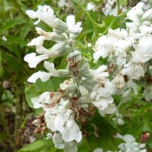Salvia farinacea Benth. (Sauge farineuse)
