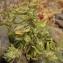 Liliane Roubaudi - Forsskaolea angustifolia Retz. [1783]