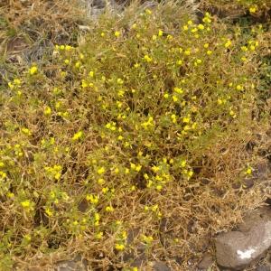 Ononis hebecarpa Webb & Berthel. [Hist. Nat. Iles Canaries (Phytogr.)., 2 : 25] (image CeL)