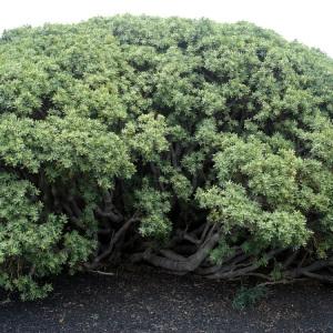 Euphorbia balsamifera W.T.Aiton