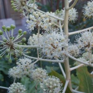 Fatsia japonica (Thunb.) Decne. & Planch. (Aralie d'intérieur)