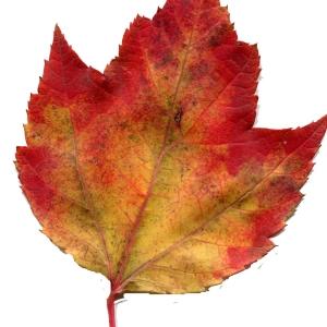 Acer rubrum L. (Érable rouge)