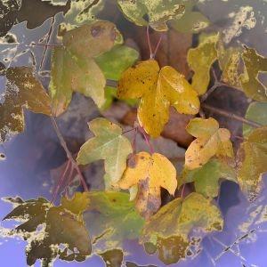 Photographie n°196030 du taxon Acer monspessulanum L. [1753]