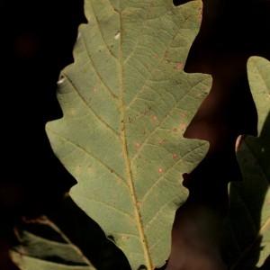 Quercus latifolia Bubani (Chêne rouvre)