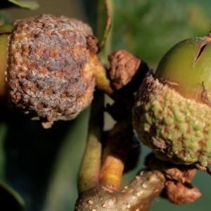 Photographie n°196034 du taxon Quercus sessiliflora Salisb. [1796]