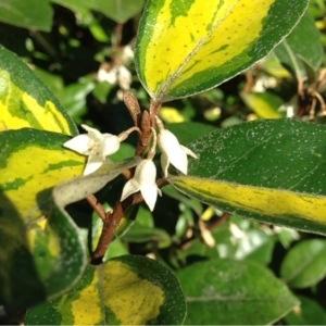 Elaeagnus x submacrophylla Servett. (Ebbinge's Oleaster)